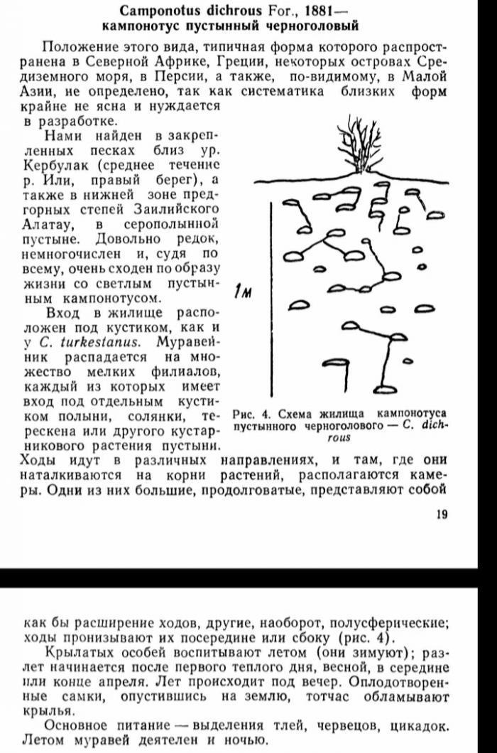 Camponotus dichrous